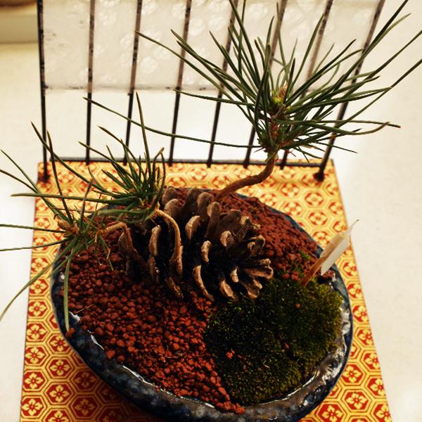 松ぼっくり盆栽3.jpg