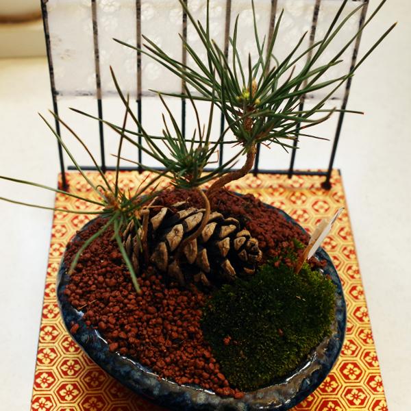 松ぼっくり盆栽4.jpg