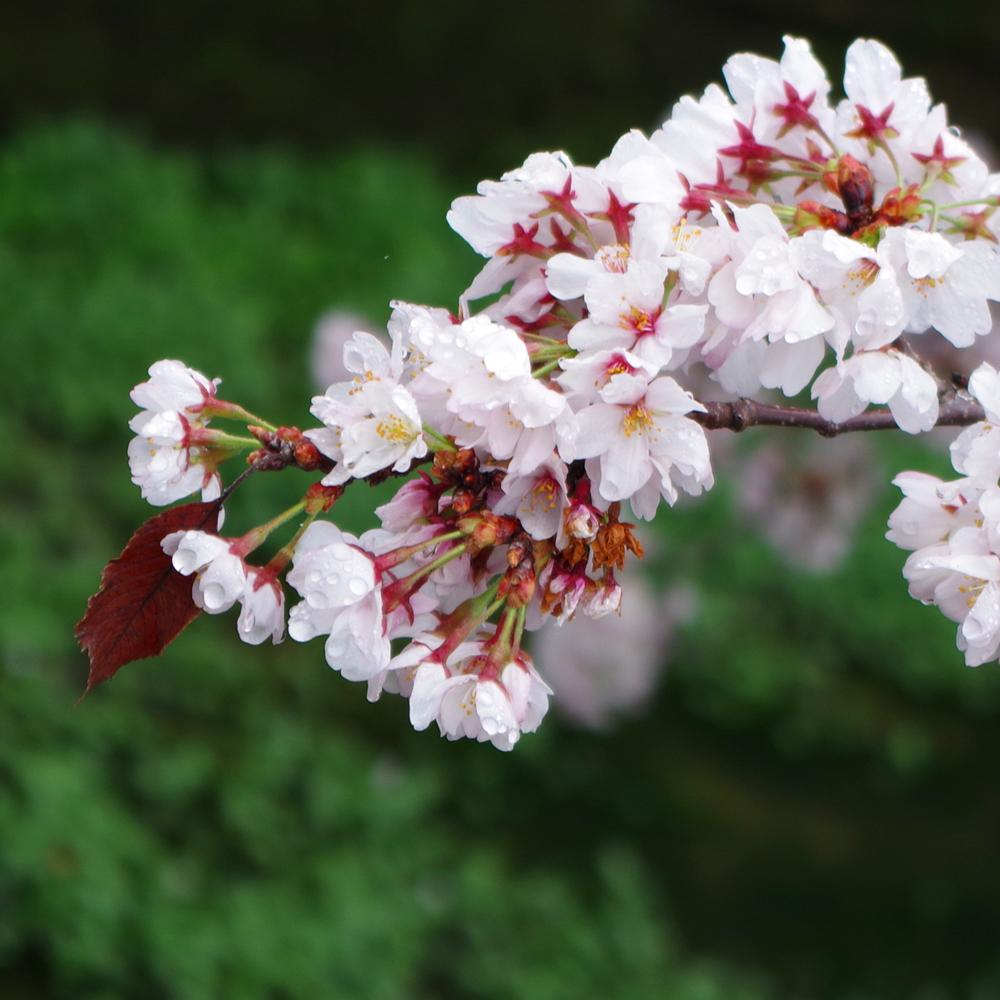 雨桜1.jpg