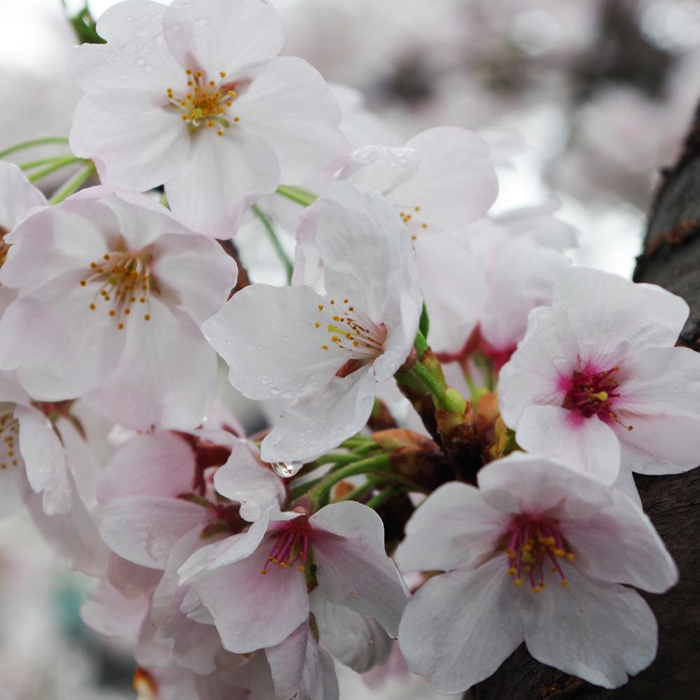 雨桜2.jpg